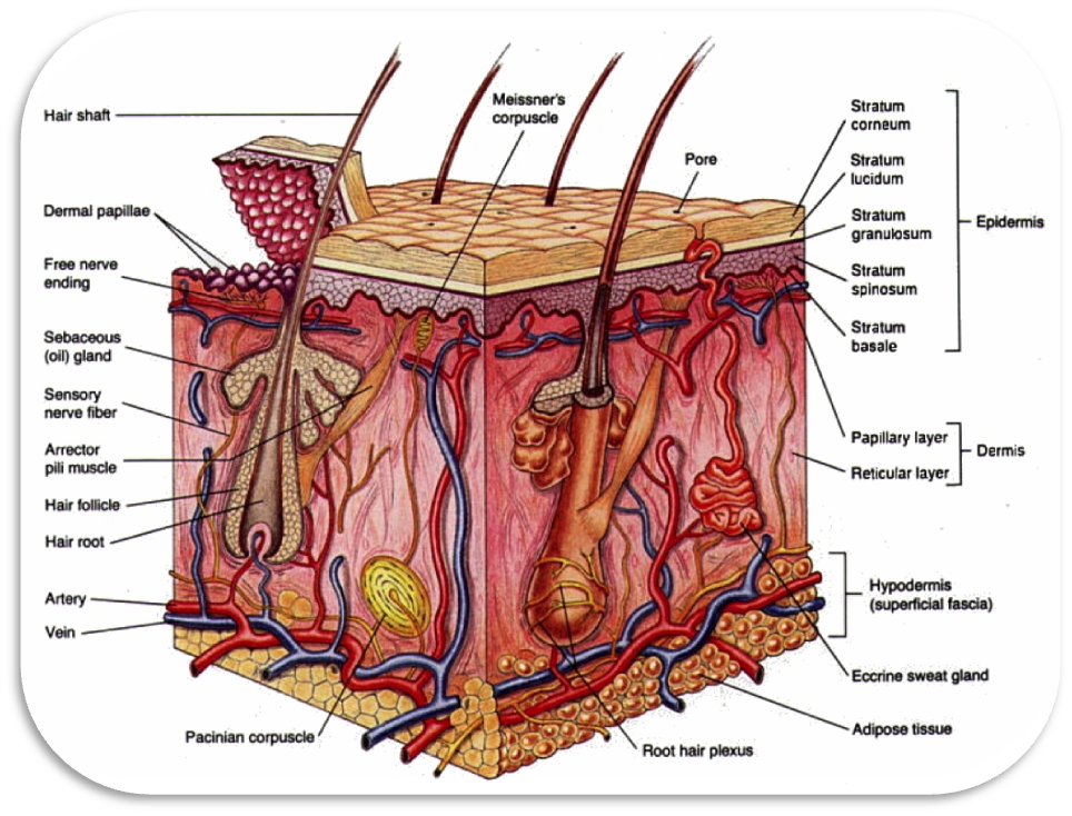 Integumentary And Excretory Systems By Colin Barnes And Qasim Rathur