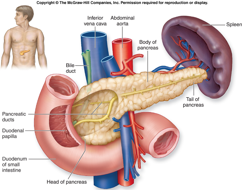 Digestive System on pancreus location